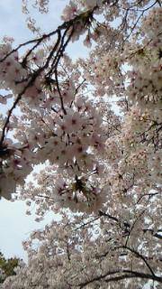 お花見しました